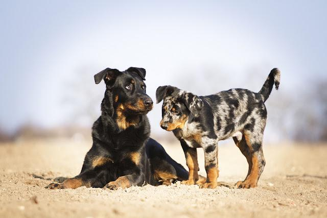 two fun beauceron rottweiler dog puppy outdoors