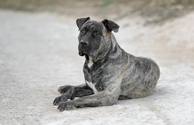 Young adult male presa canario dog (dogo canario) poses outdoors
