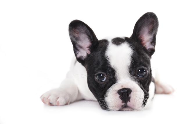 French bulldog puppy on white background