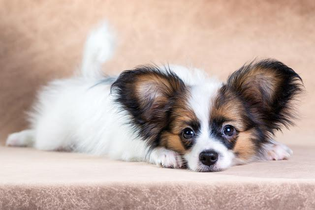 Portrait of a cute little puppy Papillon on a light brown background