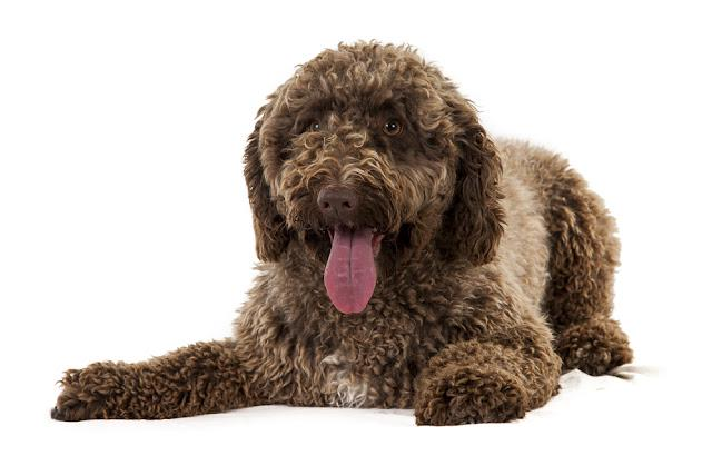 studio shot of one year old spanish water dog