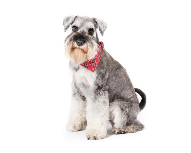 Picture of a  miniature schnauzer sitting on a white background wearing a tartan collar