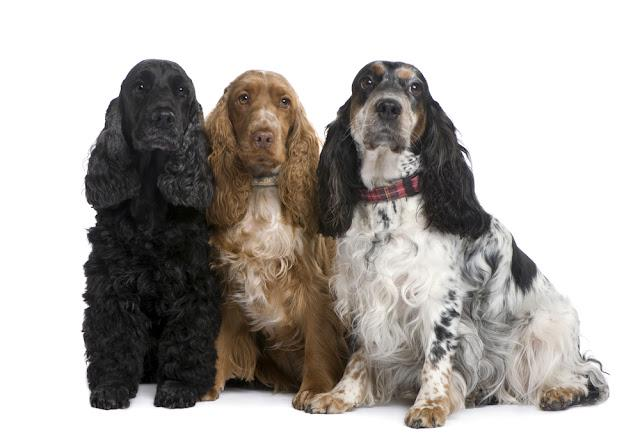 group of three Cocker Spaniels in front of a white background