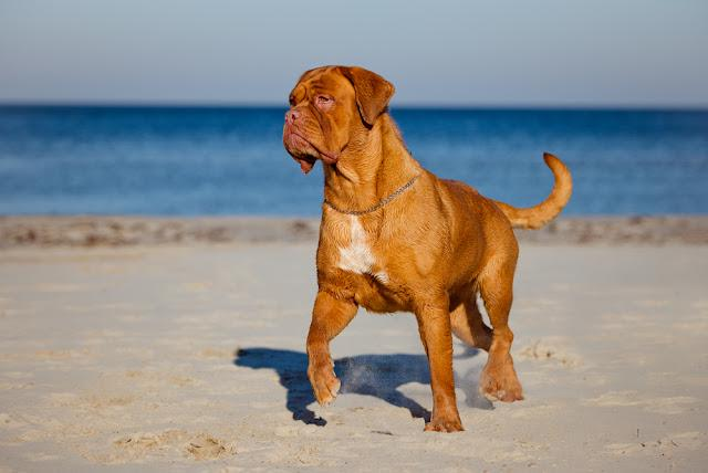 dogue de bordeaux on the beach