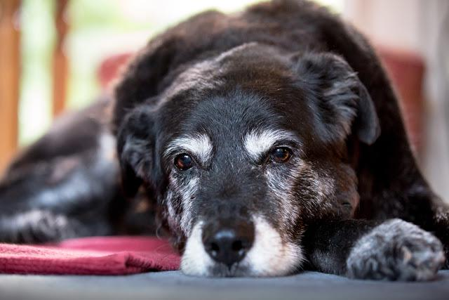 Old dog lying down.  http://www.alexmalphotography.com/
