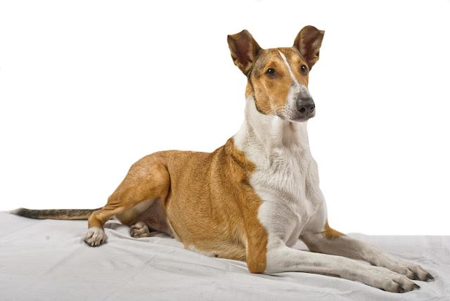 Female pure breed golden smooth (short haired) collie lying on the blanket with isolated background
