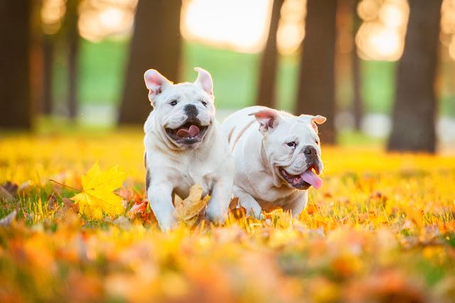 Two english bulldog puppies running in the park in autumn