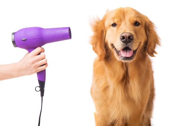 Blow dryer on a fresh groomed, happy golden retriever dog
