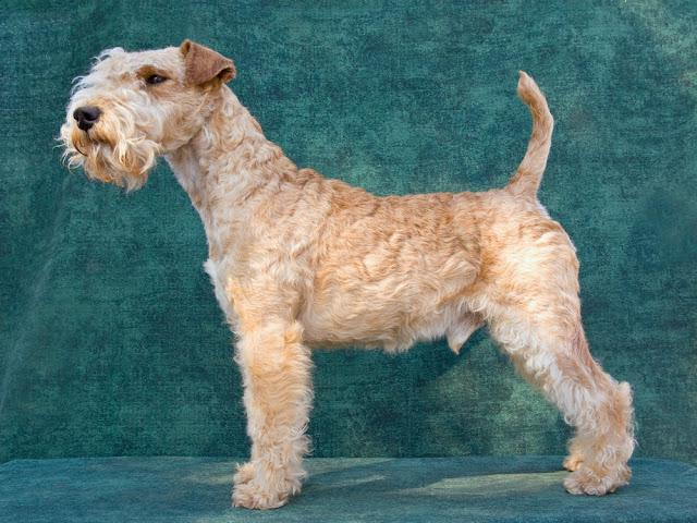 Show quality Lakeland Terrier in show stand against green background