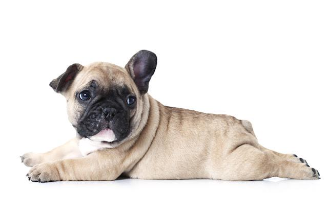 Cute little French bulldog puppy lying on white background and looks up to something
