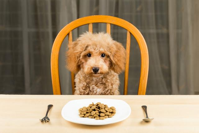 A bored and uninterested Poodle puppy with a plate of kibbles on the dining table