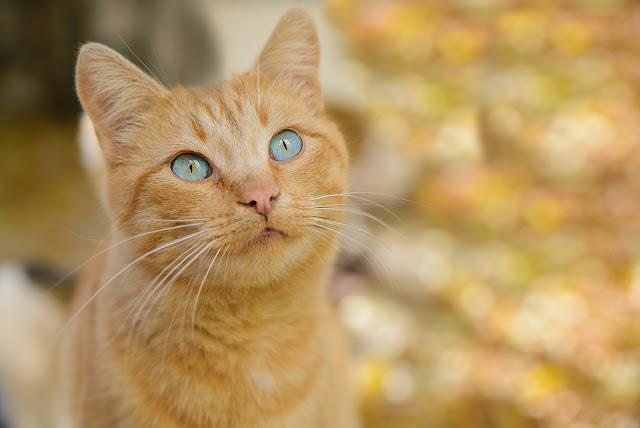 Beautiful blue-eyed red cat, very rare combination of coat color and eye