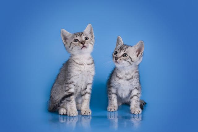 Egyptian Mau kitten isolated on a colored background