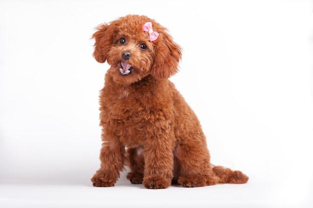 A red toy poodle puppy with a pink bow sits with open mouth