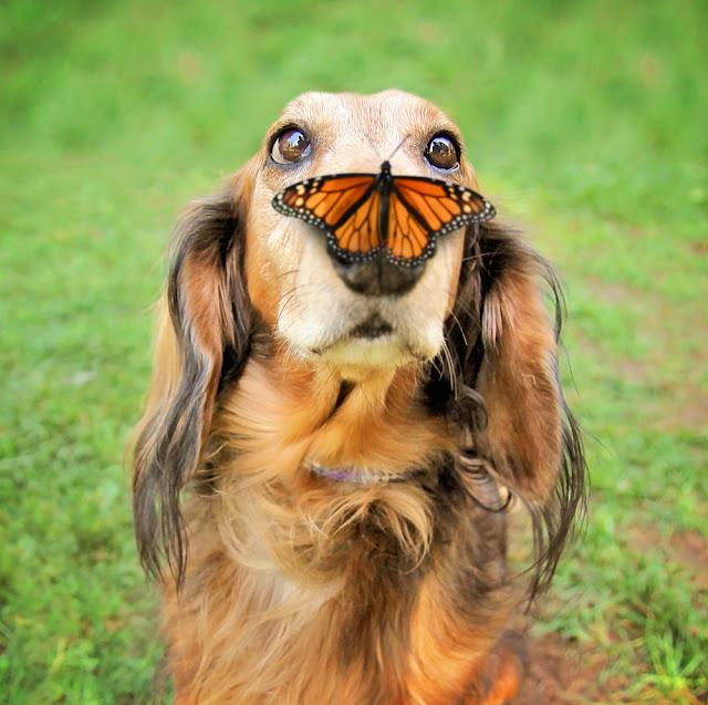 a cute dachshund at a local public park with a butterfly on his or her nose
