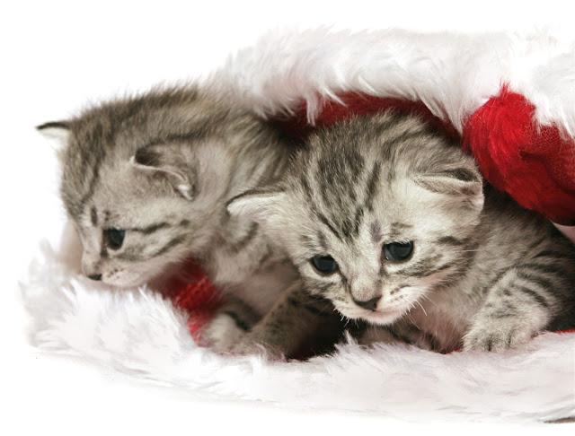 Tiny kittens in a Christmas hat