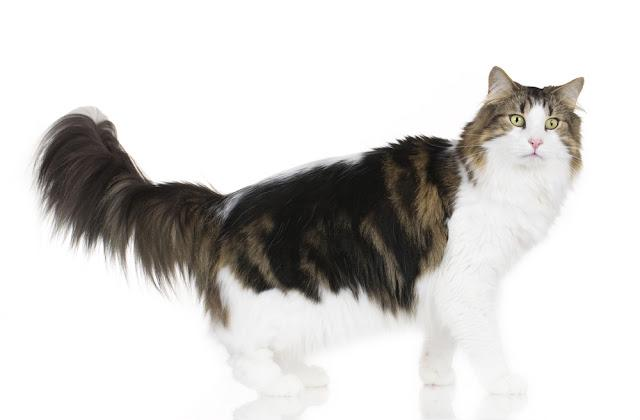 Norwegian forest cat sideways looking at camera isolated on white