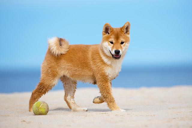red shiba-inu puppy walking on a beach