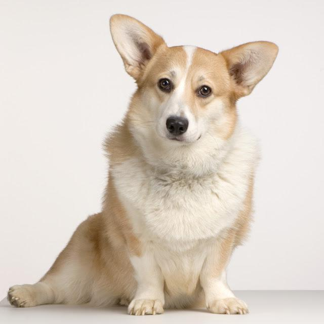 Cardigan Welsh Corgi sitting in front of a white background