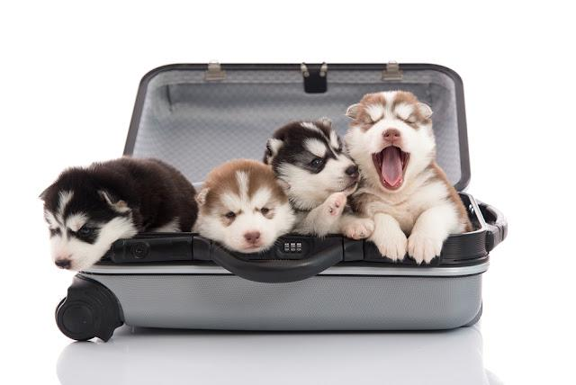 Four siberian husky puppies sitting and looking in suitcase for traveling,isolated on white background