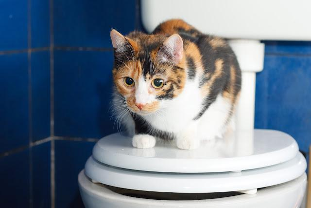 Calico cat sitting on a on a toilette seat