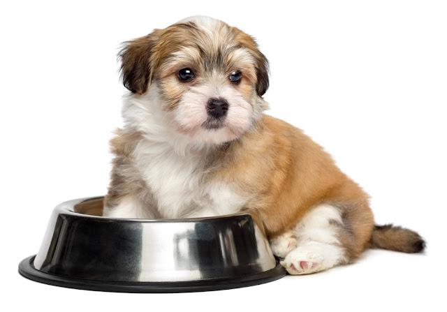 Cute hungry Bichon Havanese puppy dog is sitting next to a metal food bowl and waiting for feeding - isolated on white background