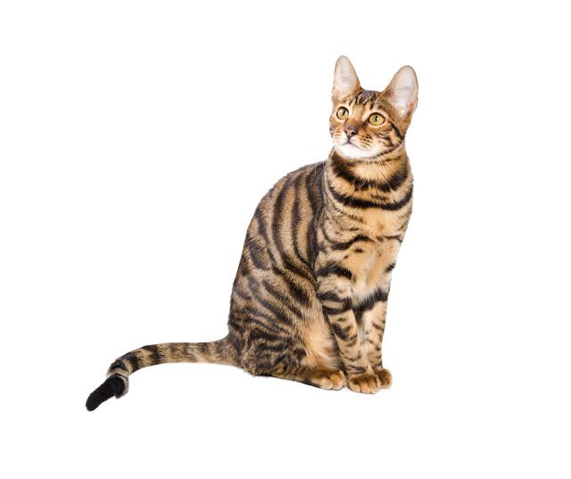 Cat breed toyger isolated on white background. Toy tiger.