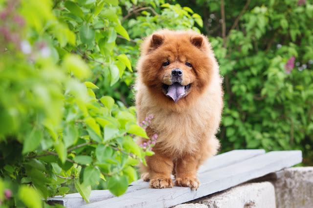 beautiful red chow chow dog standing on a bench