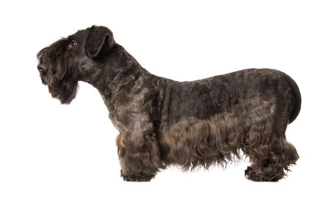 Cesky Terrier black dog isolatad over white background