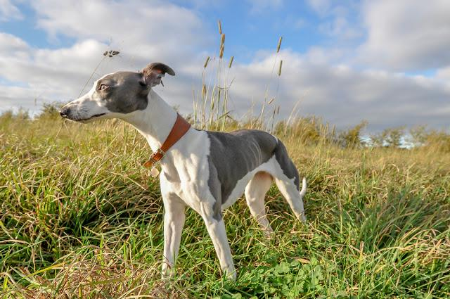 Whippet Standing