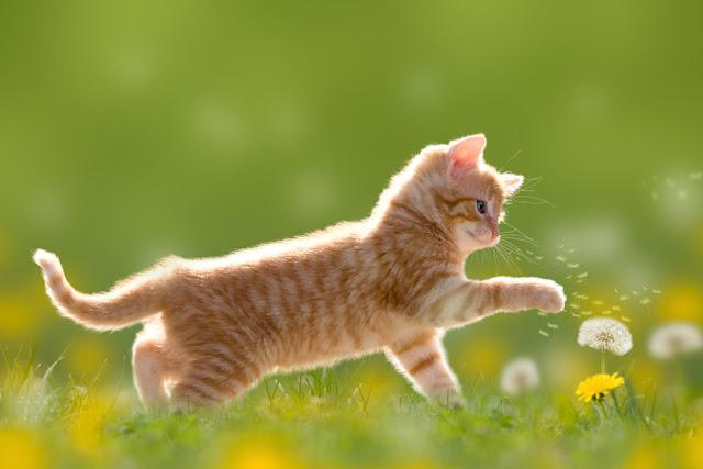 Young cat plays with dandelion in Back light on green meadow