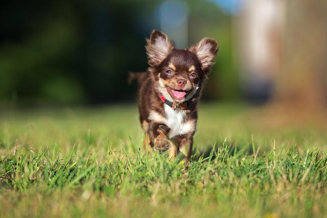 adorable chihuahua puppy running
