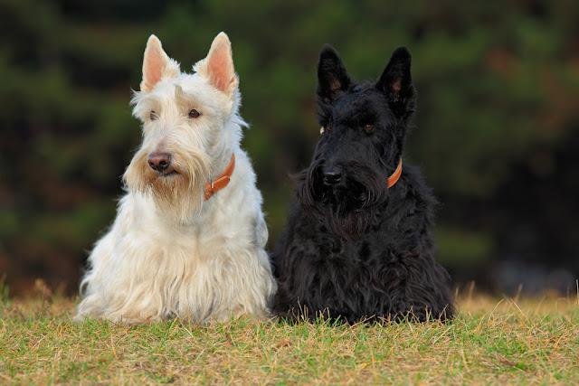 Pair of black and white (wheaten) scottish terrier, sitting on green grass lawn