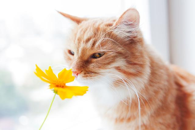 Ginger cat smells a bright yellow flower. Cozy morning at home. Cute background, soft focus.