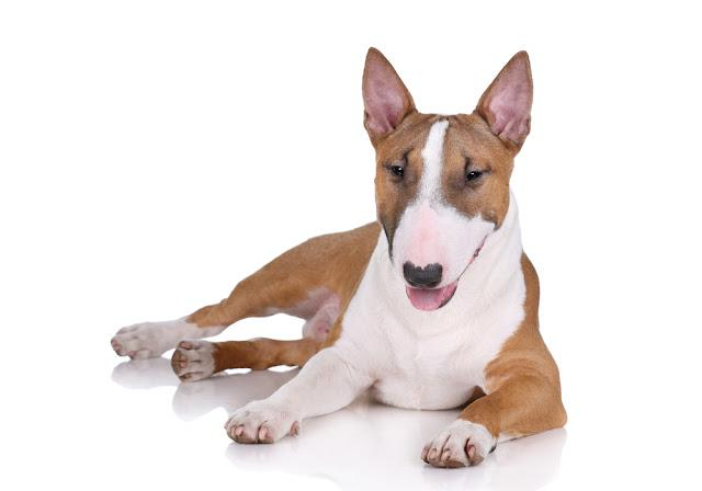 Miniature bull terrier dog lying on a white background