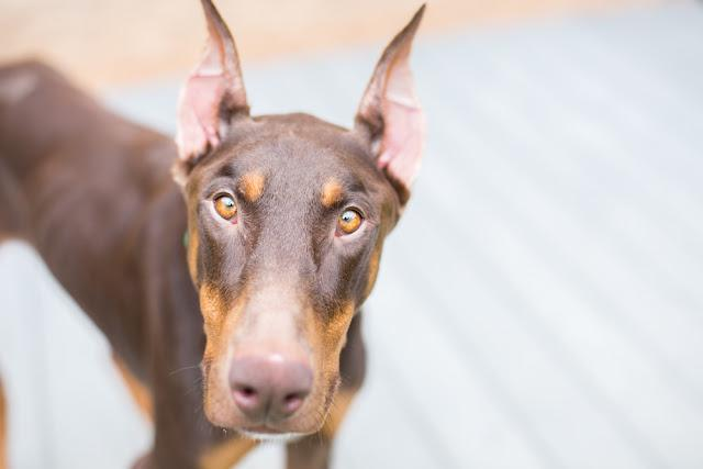 Portrait of a Brown doberman pinscher outside