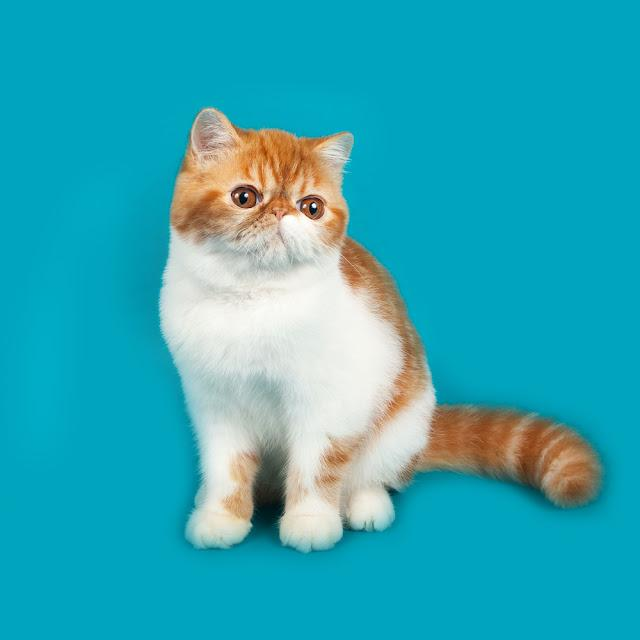 Exotic shorthair cat color red and white sitting
