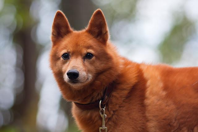 Finnish Spitz outdoors