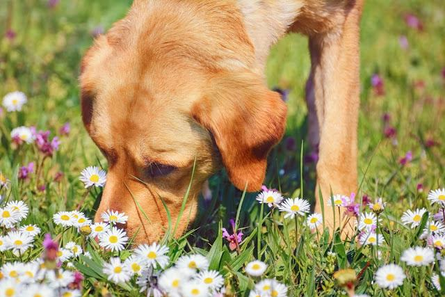 Dog Sniffing Chamomiles FLowers on the Field