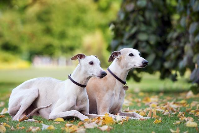 two whippet dogs lying down outdoors together