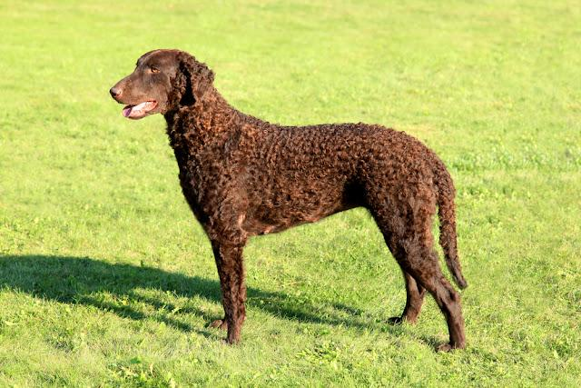 Typical Curly Coated Retriever in the garden