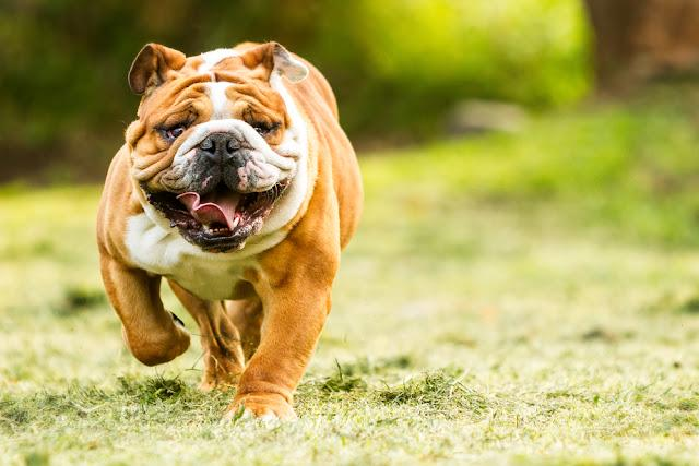 Purebred English Bulldog Moving Toward The Camera Wrinkled Face Close Up
