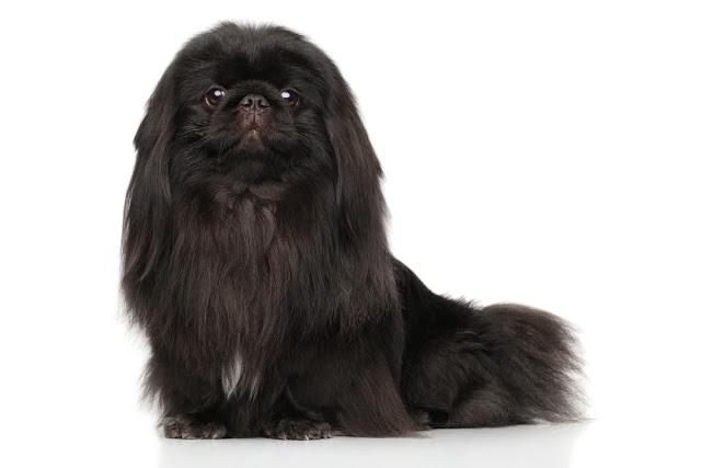 Black Pekingese dog. Portrait on a white background