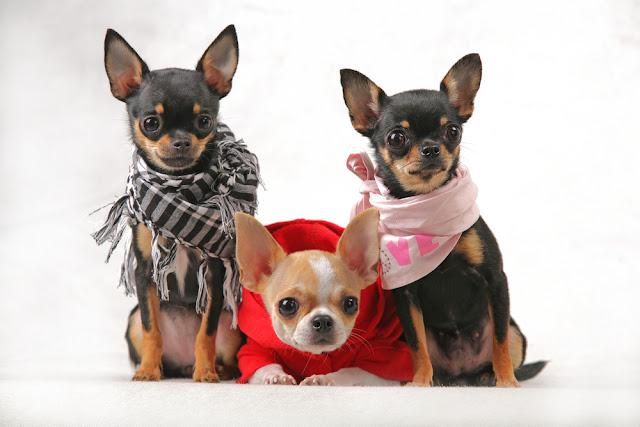 three Chihuahua Wearing beautiful clothes