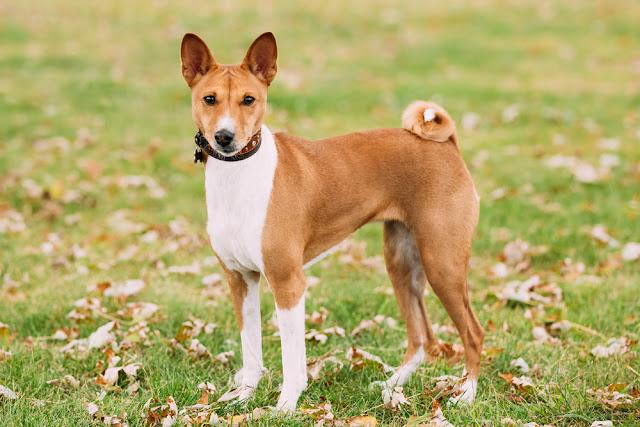 Basenji dog on grass outdoor. Basenji Kongo Terrier Dog. The Basenji is a breed of hunting dog