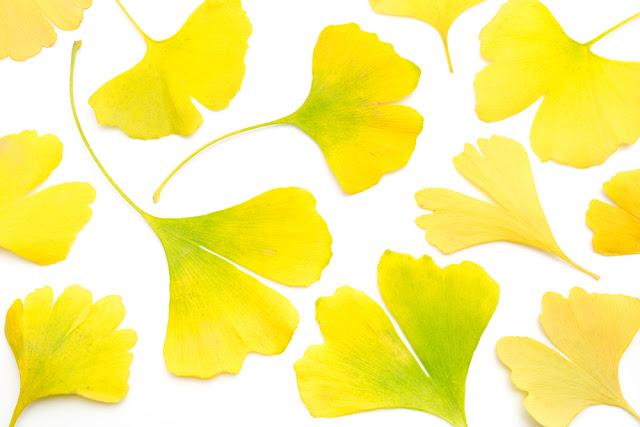 yellow ginkgo leaves on white background