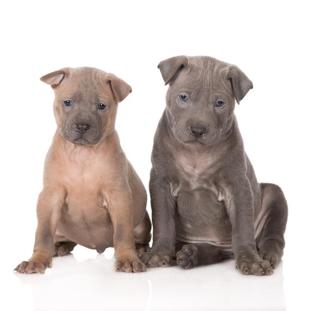 fawn and grey thai ridgeback puppies on white
