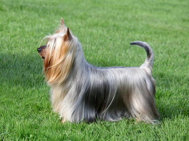 Typical Australian Silky Terrier  in the spring garden