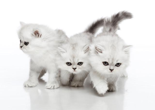 Horizontal portrait of three kittens of Persian cat breed standing on isolated background
