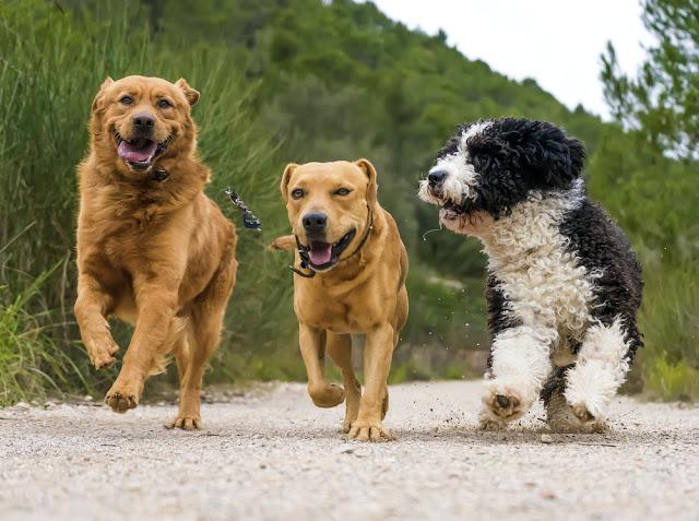 photograph of a dogs running